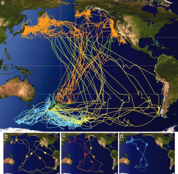 Tracked migration of 19 Sooty Shearwater (2014)